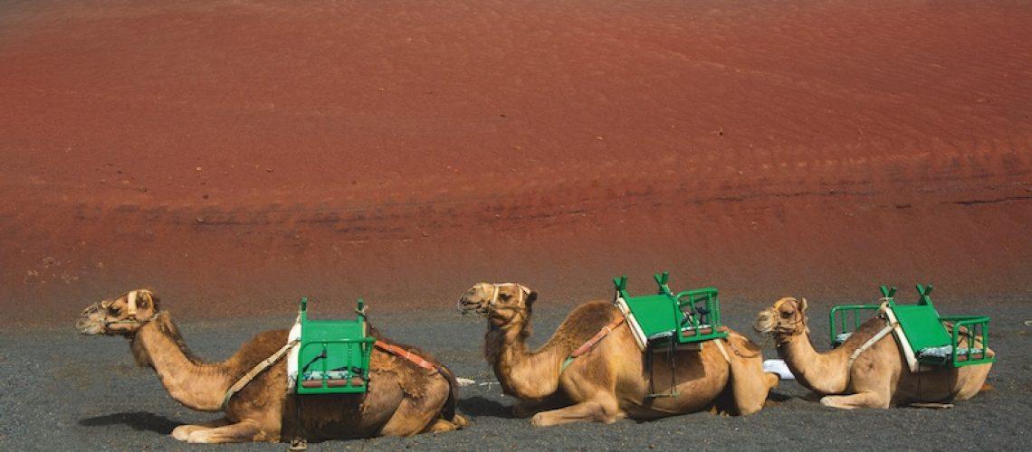 Lanzarote-kamelen